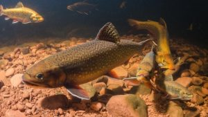 N.S. wild brook trout hold firm against millions of hatchery releases: study
