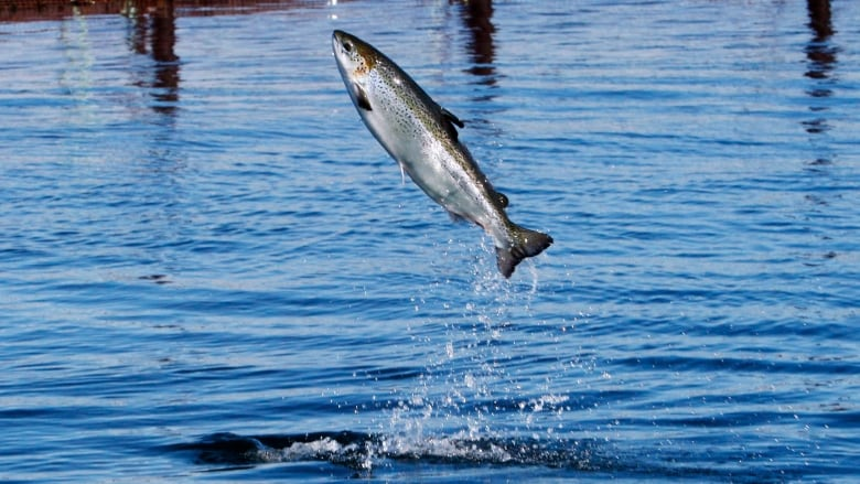 Live gene bank only hope for inner Bay of Fundy salmon