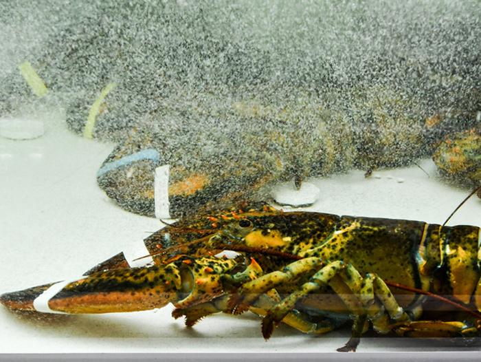 Lobster Population Deemed Healthy in Eastern Nova Scotia as Uncertain Season Begins