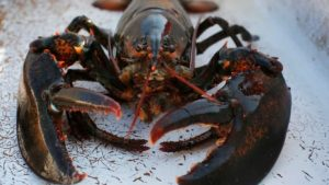 Lobster season extended by 4 days in Gulf of St. Lawrence