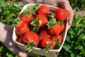 Pickers Wanted: Nova Scotia strawberry producers face challenging season