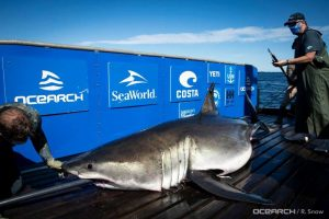 Shark researchers to increase sample size of tagged great white sharks in Nova Scotia